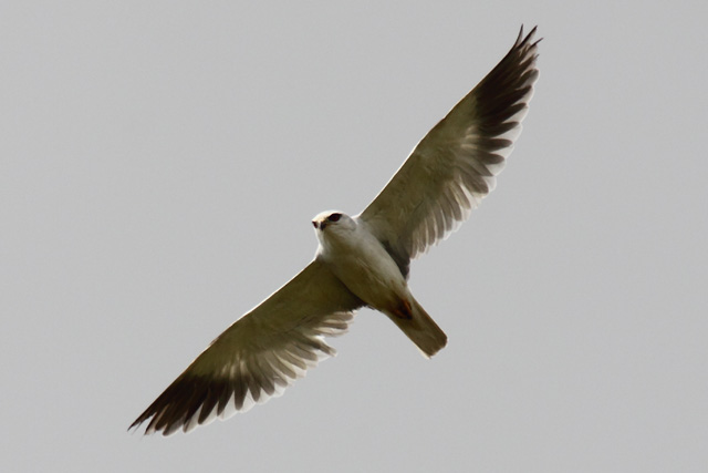 kBlack winged Kite